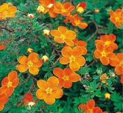 Ölandstok - Potentilla Fruticosa - Hopleys Orange