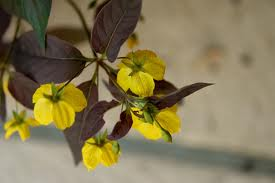 Lysimachia  cilata Fire Cracker - Guldlysing