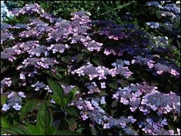 Hortensia serrata Bluebird Co 2