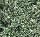 Silverbenved - Euonymus Fortunei - Emerald Gaiety