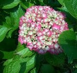 "Hydrangea - Hortensia -macrophylla ""Glowing Embers"" Co 2-3"