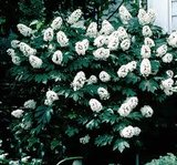 "Hydrangea - Hortensia -macrophylla ""Snow Queen"" Co 5"