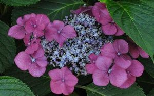 "Hydrangea - Hortensia -macrophylla ""Twilight"" Co 2-3"